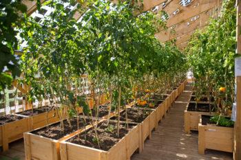 ETC tomater är långsamt växande och mycket goda. Foto: Christer Widlund